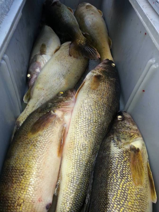 Where Are All The Bay Of Quinte Walleye.